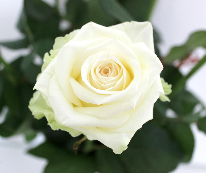 DIY - weiße Rosen blau färben, Blumen färben